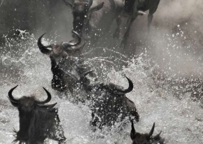 The great migration of wildebeest at Masai Mara
